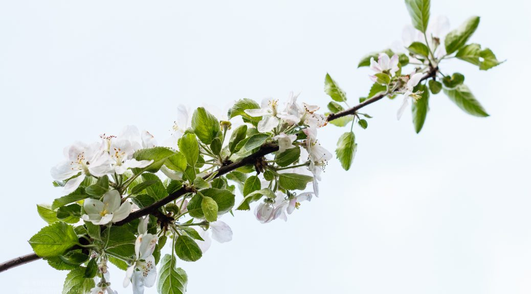 Kirschbaumzweig vor Himmel