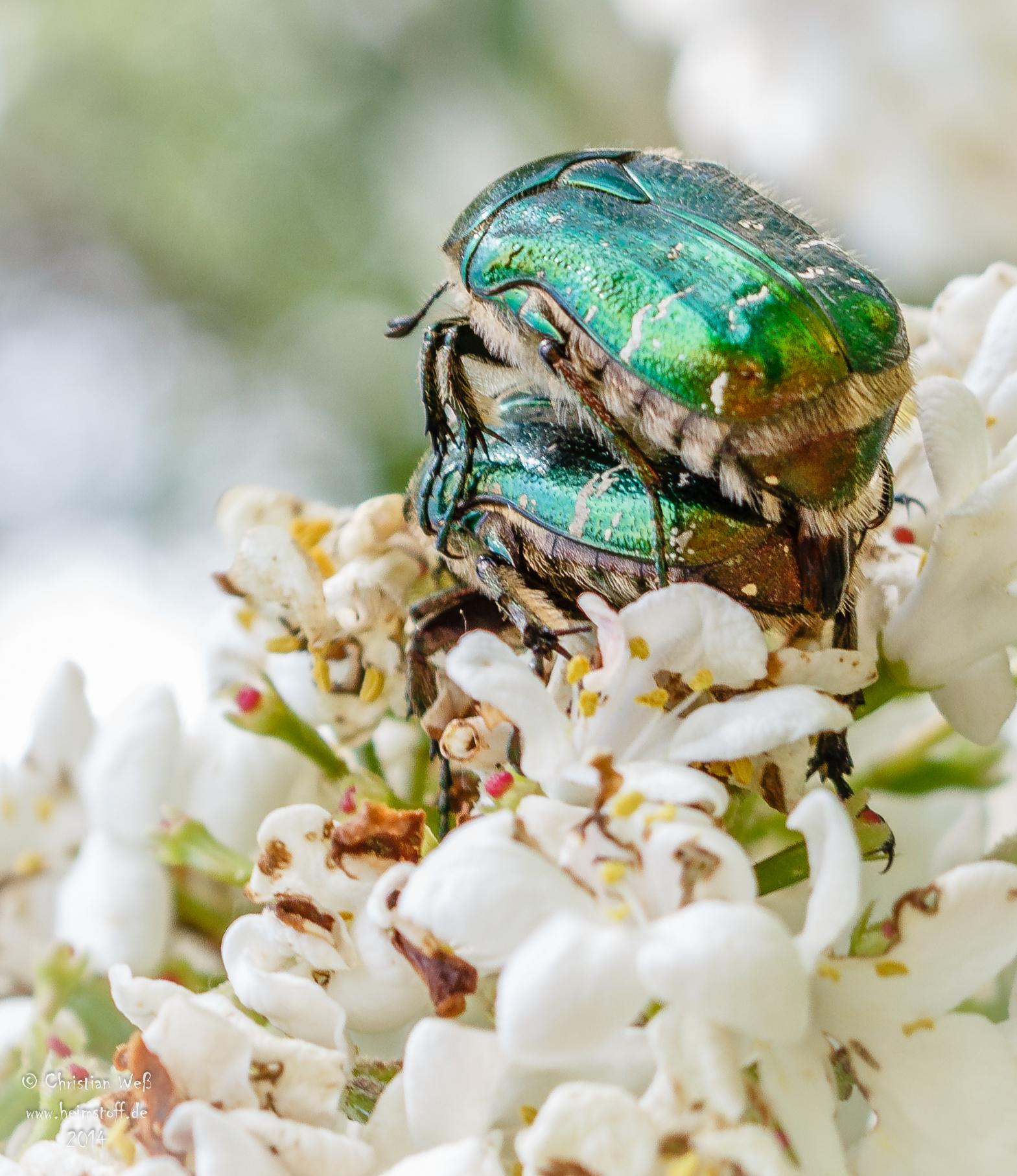 Glückliche Käfer