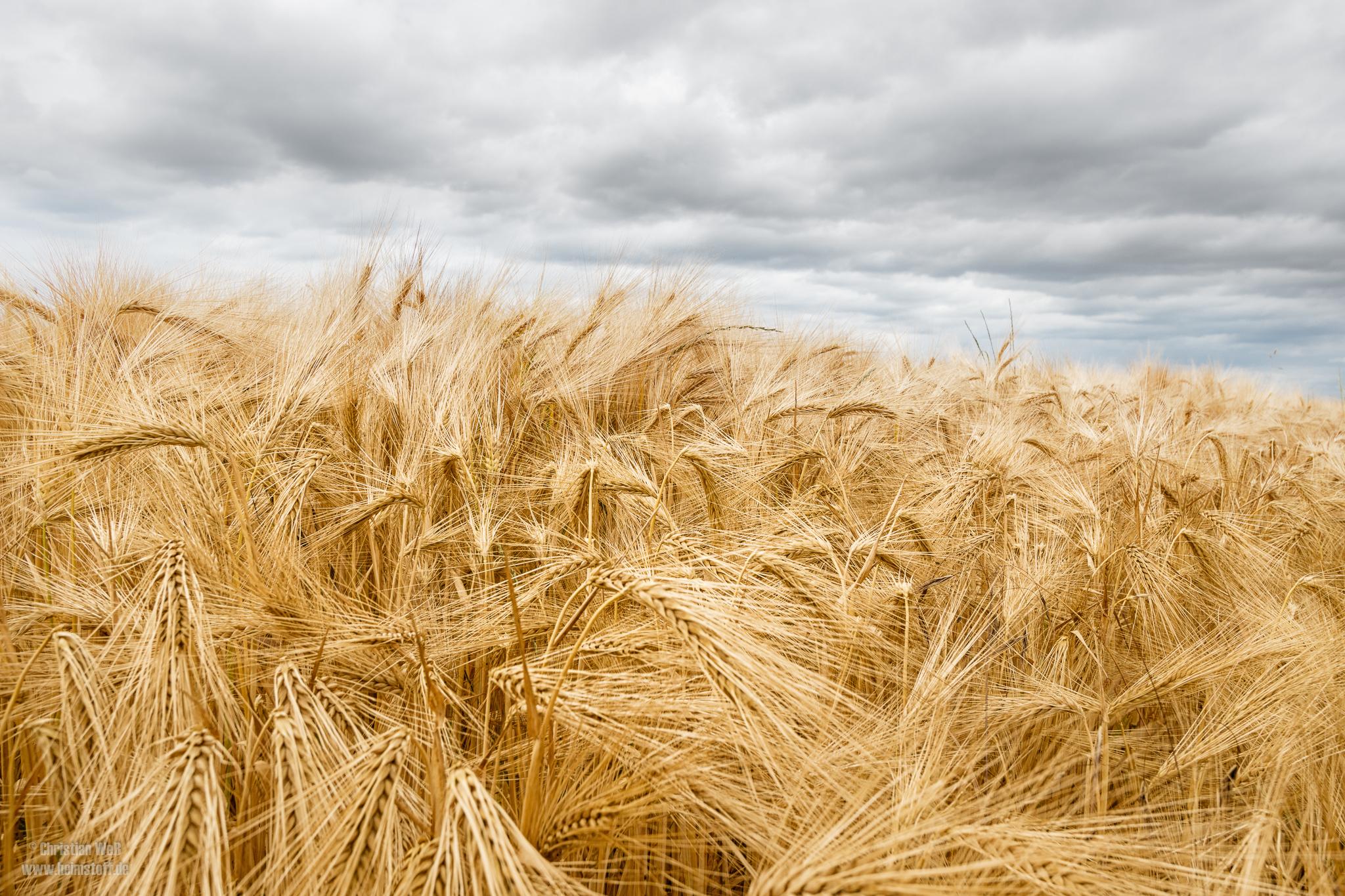Plötzlich sind die Felder golden.