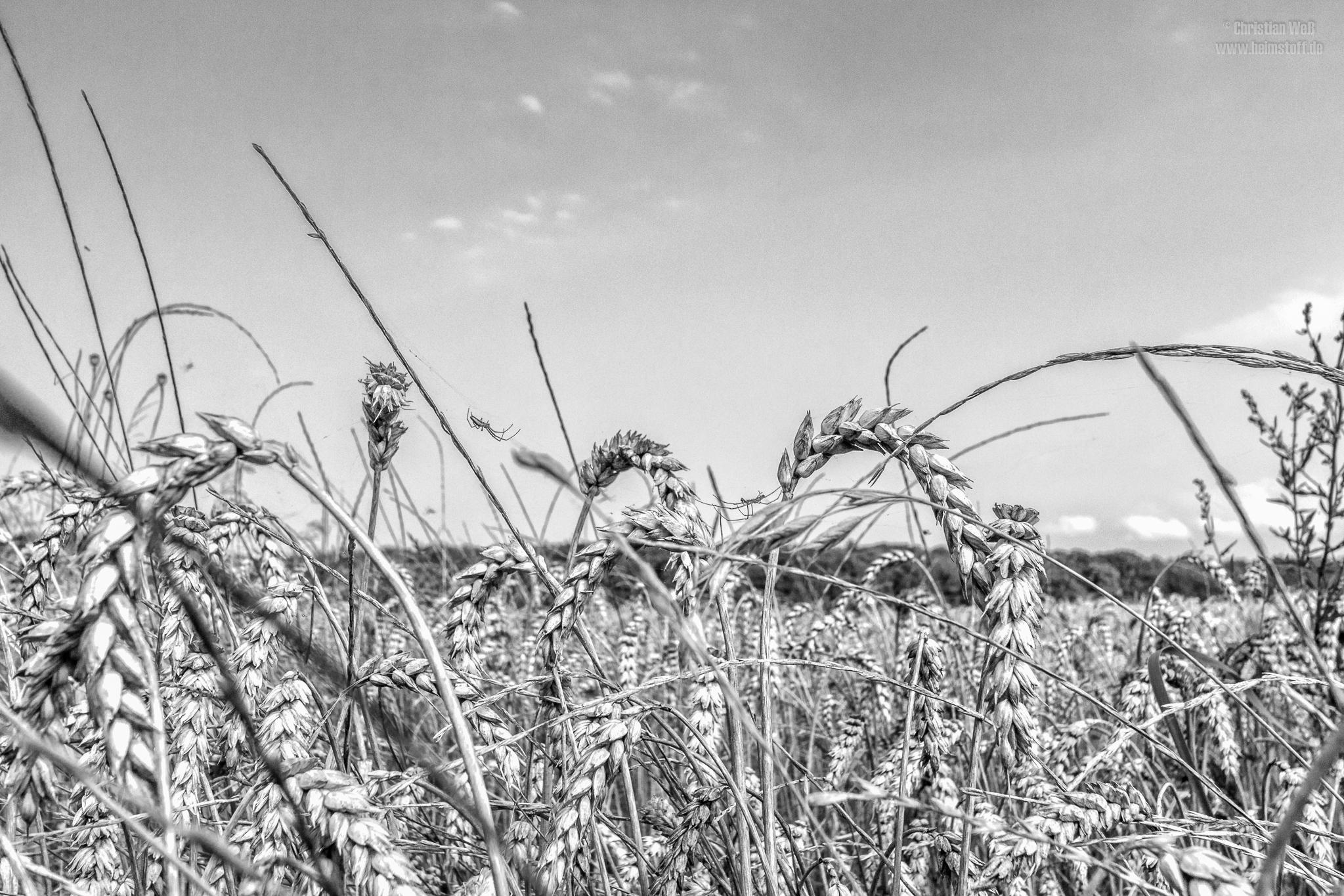 Streckerspinnen im Weizen.