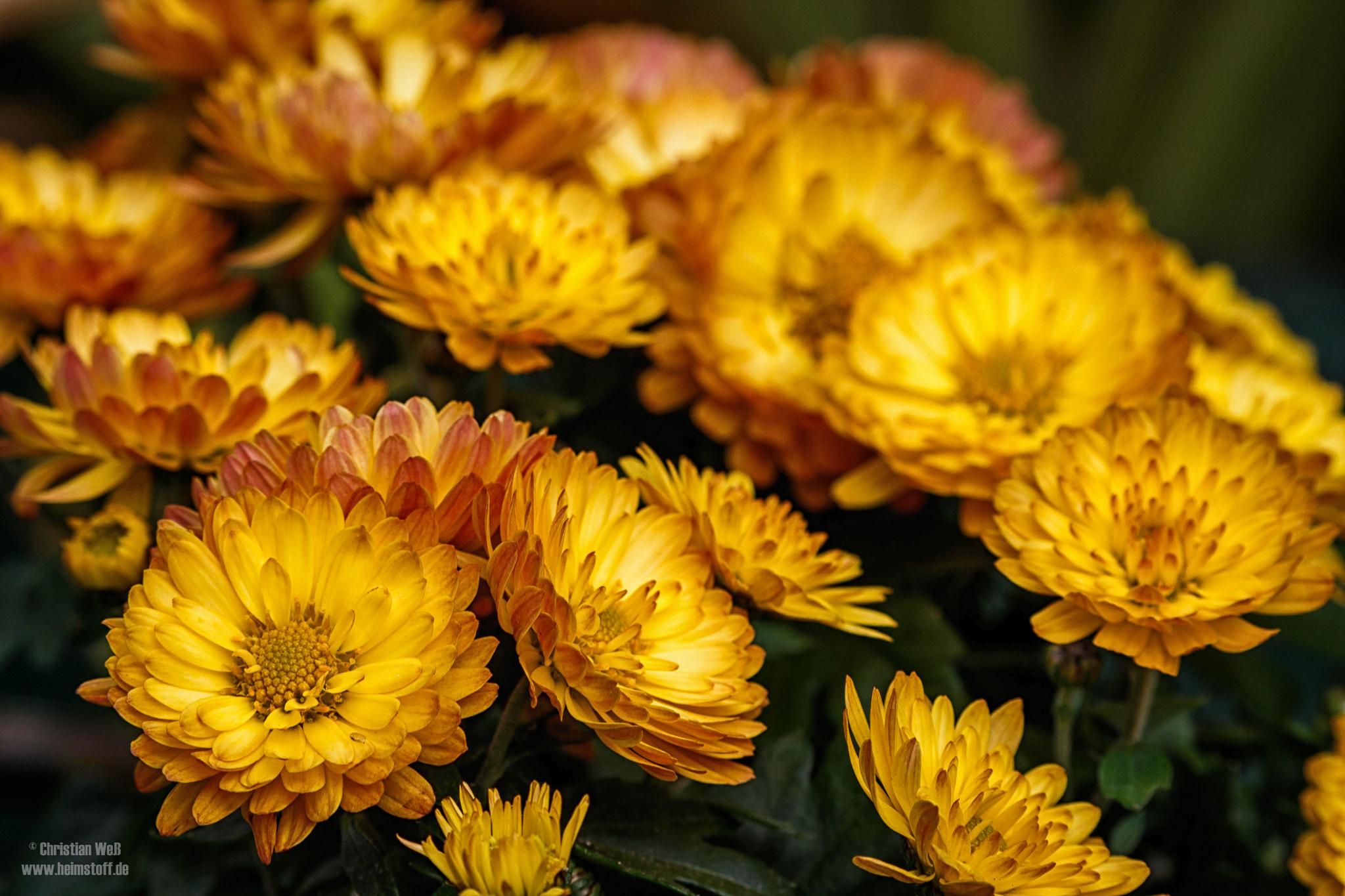 Gelbe Astern.