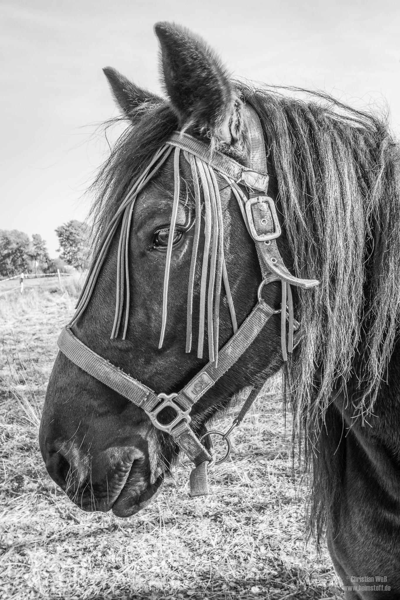 Das Hauspferd (Equus ferus caballus)