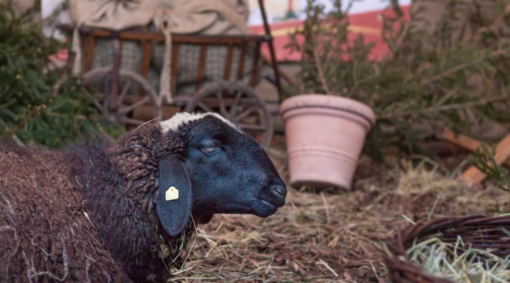 Das (fast) schwarze Schaf.