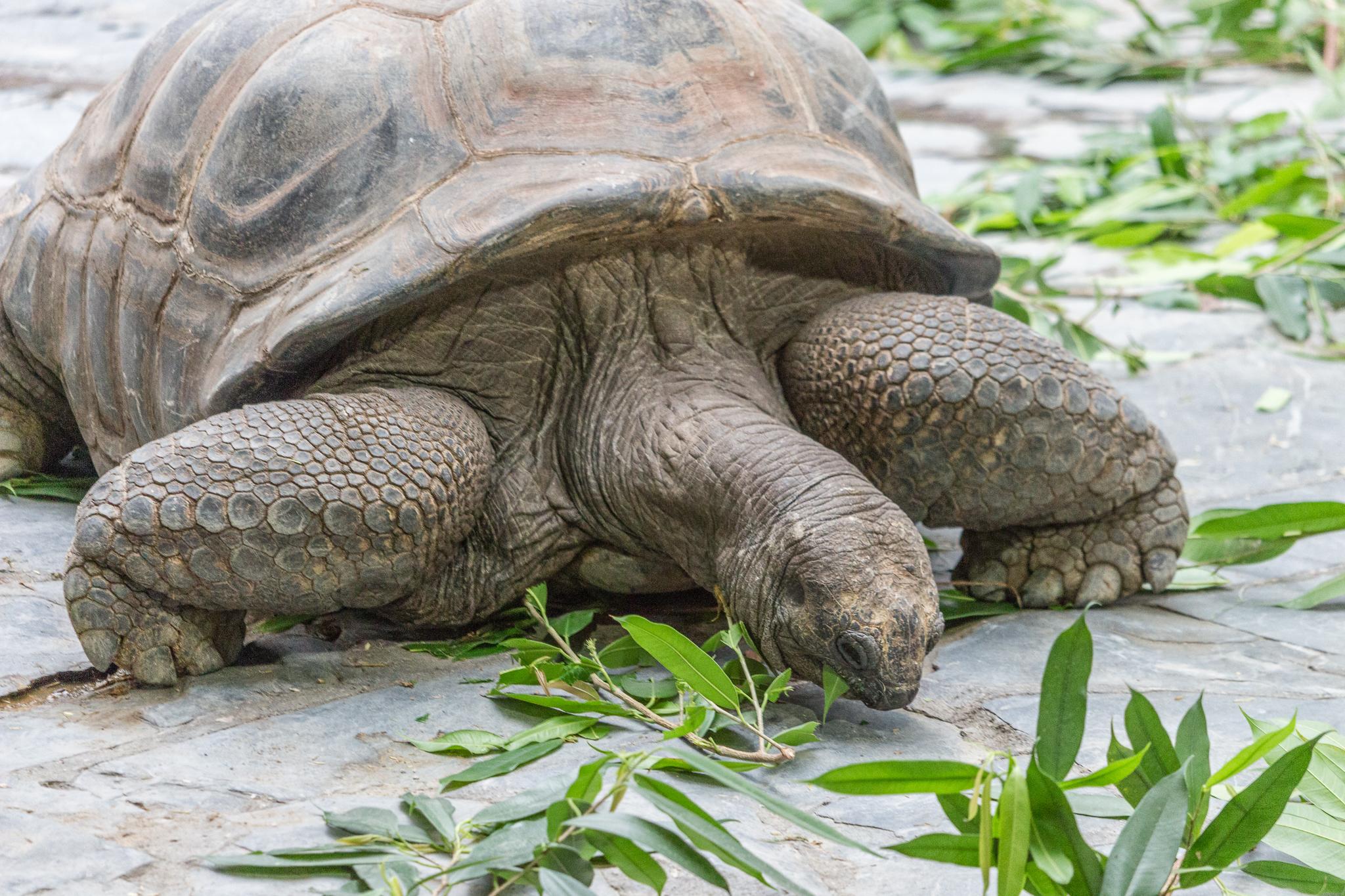 Die Riesenschildkröte