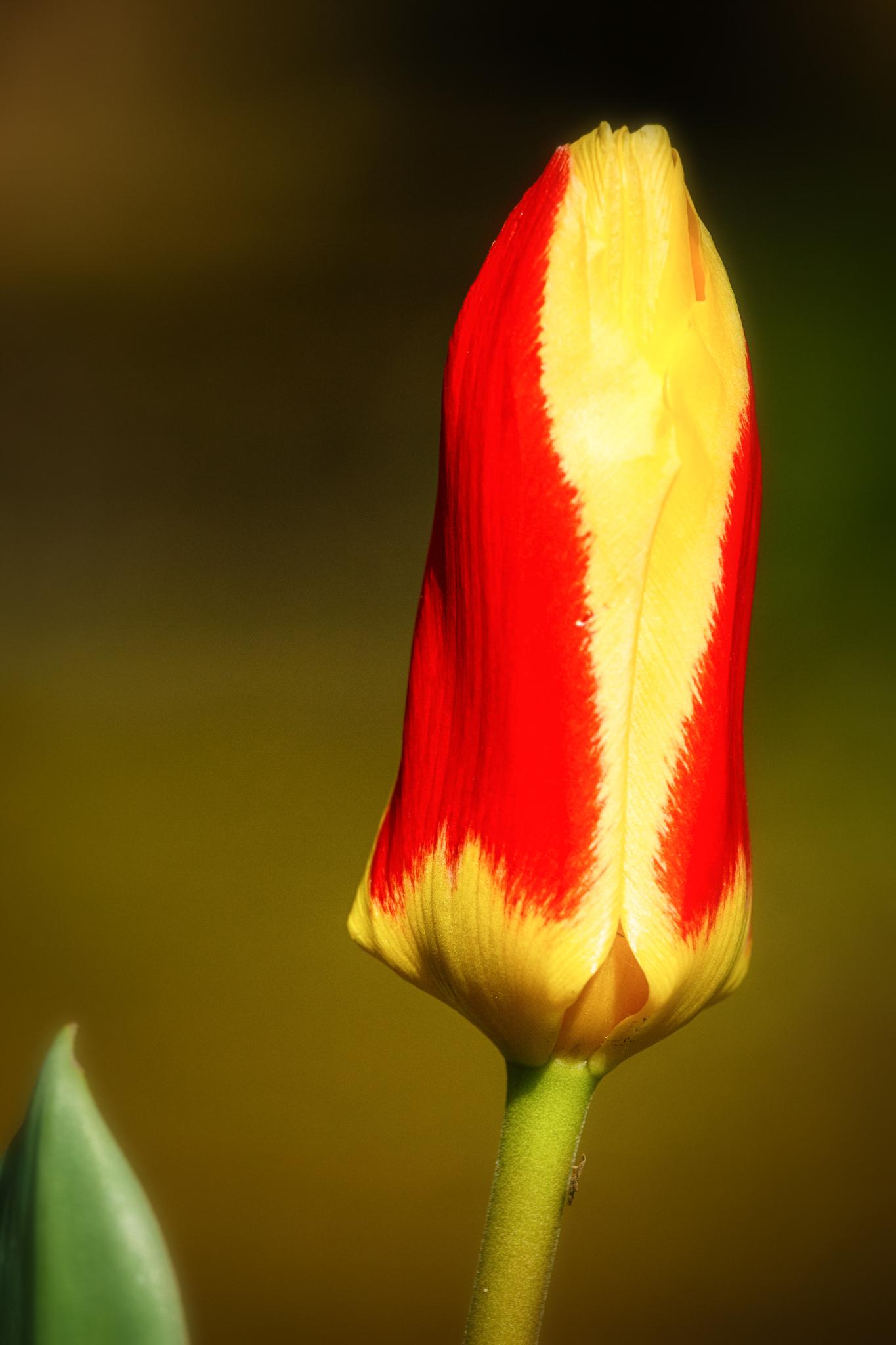Die Tulpe.