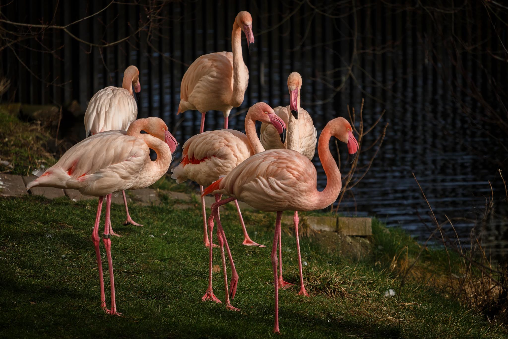 Sechs Flamingos