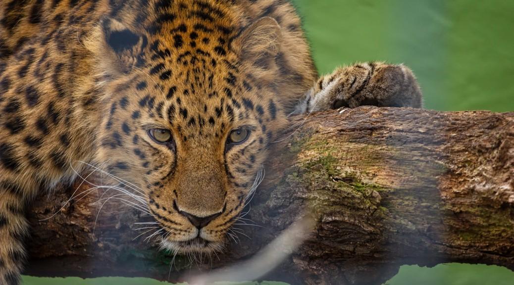 """Amurleopard """"Nelkan"""""""