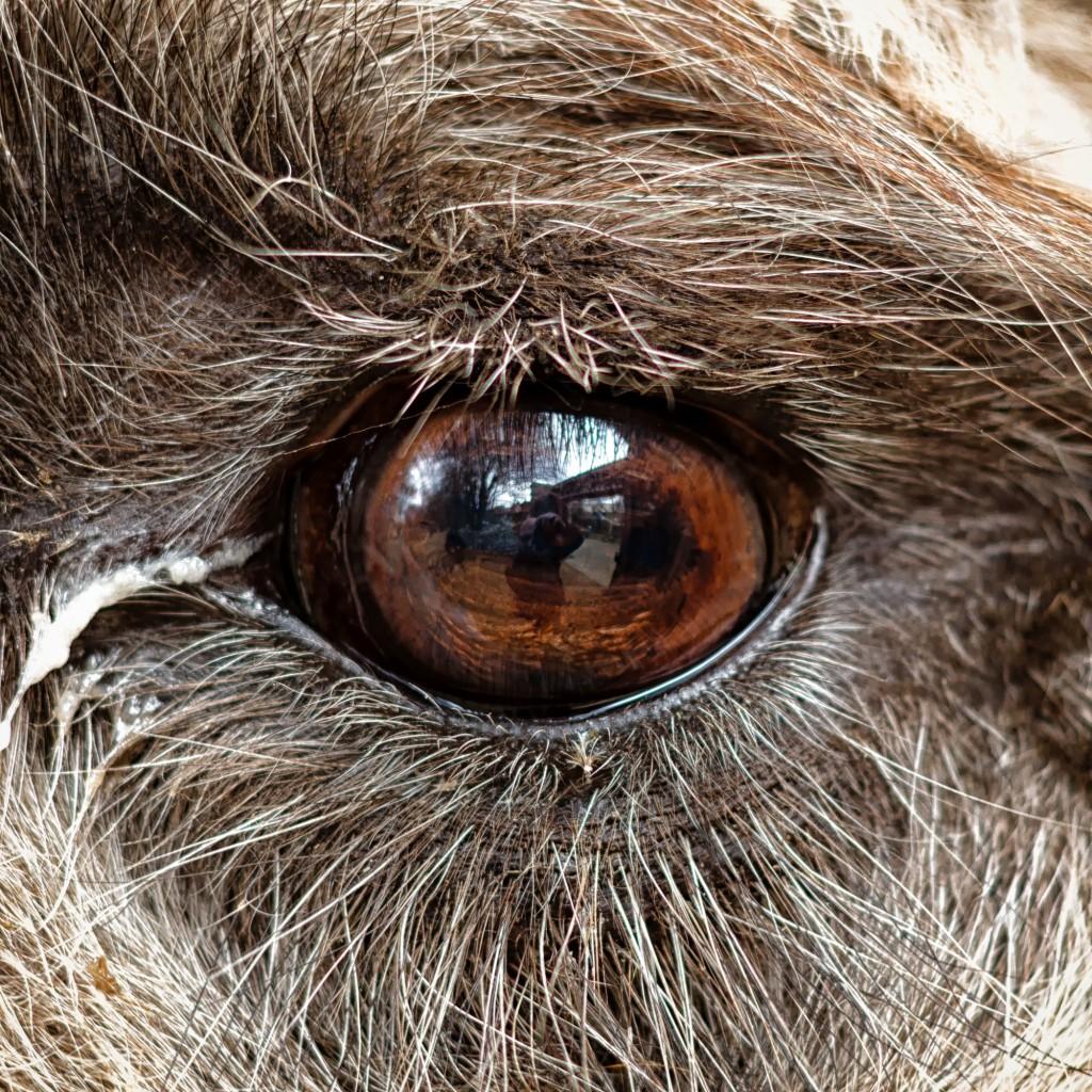 Im Auge des Trampeltiers.