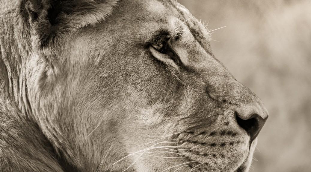 Konzentrierte Löwin.