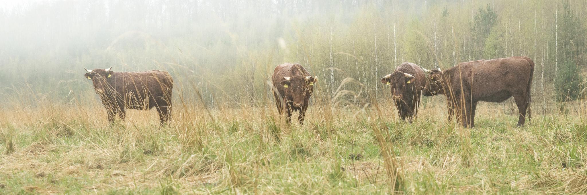 Ein Bulle, drei Kühe.