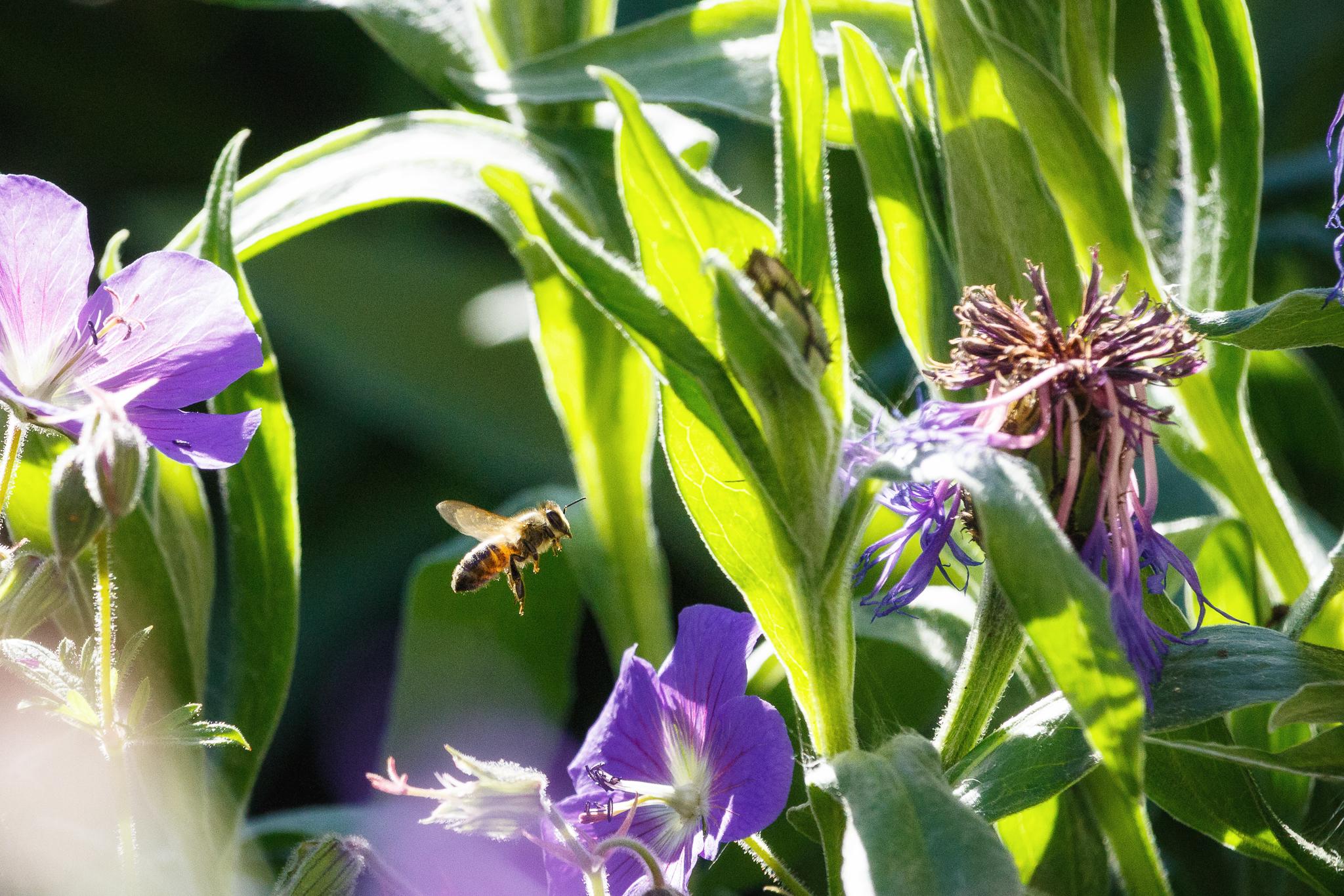 Die Biene.