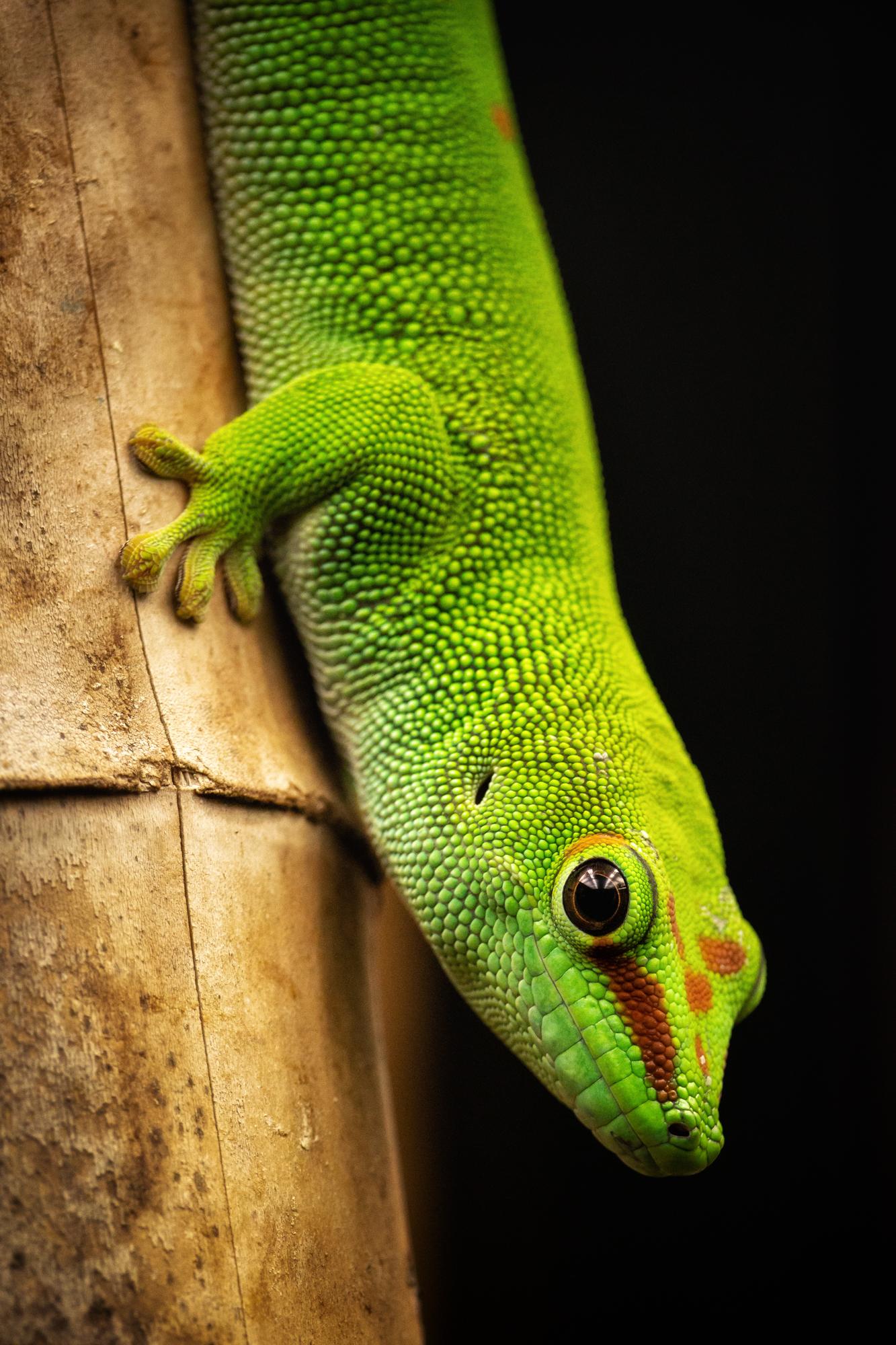 Madagaskar-Taggecko.