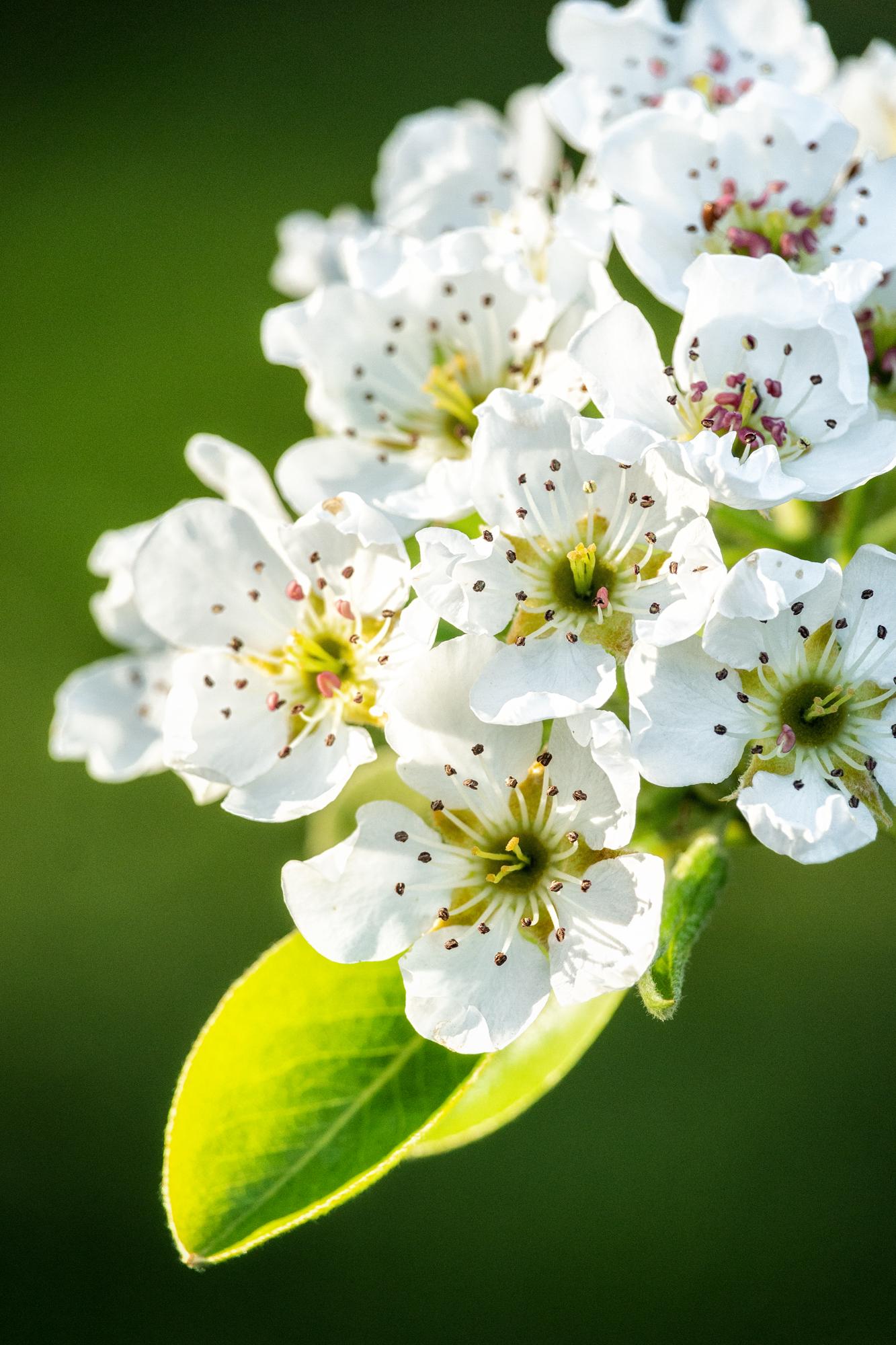 Apfelblüte.